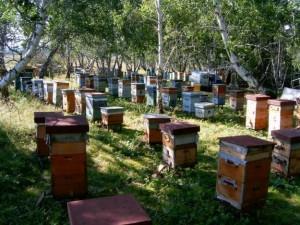 Пчеловодство - быстро окупаемая отрасль сельского хозяйства