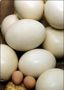 Купить страусиное яйцо в России