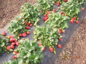 Выращивание клубники на балконе - свежая ягода весьгод