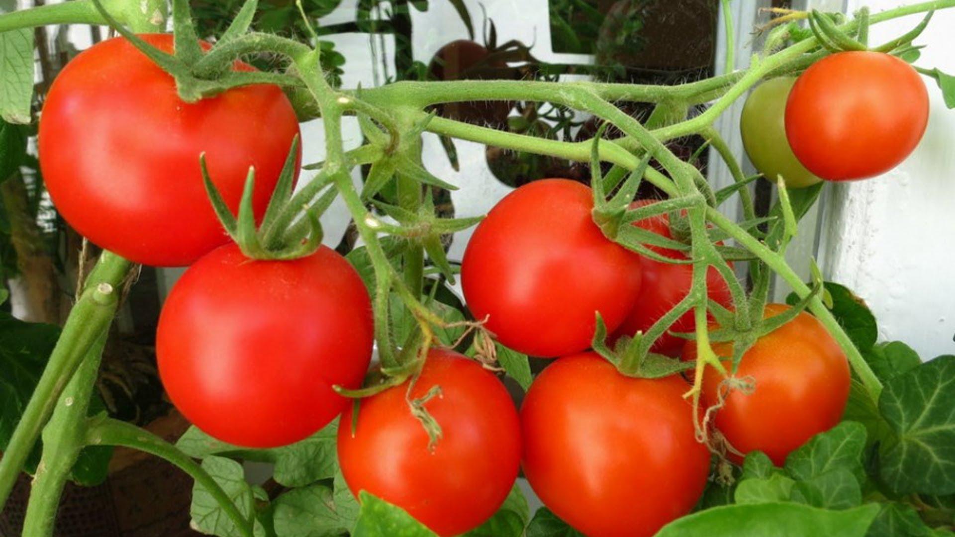 Выращивание томатов и помидоров 385