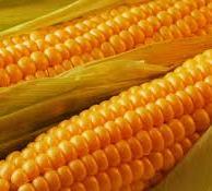 Выращивание кукурузы и прибыль от него