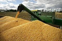 Выращивание кукурузы на зерно и ее сбыт
