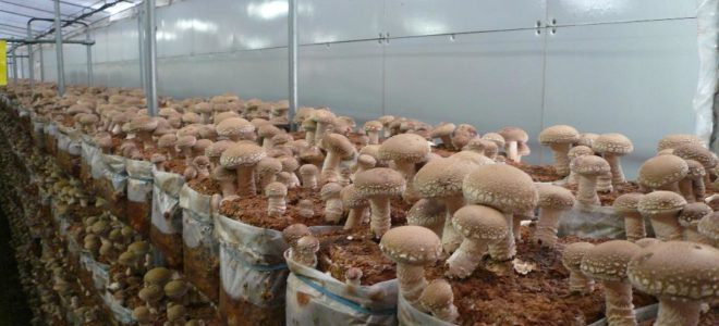 Правильное выращивание белых грибов в теплице 50