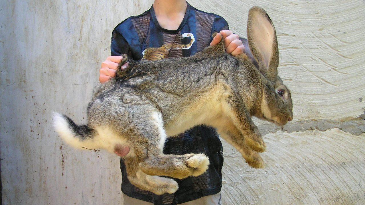 Как разводить кроликов домашних условиях