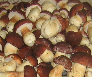 Выращивание белых грибов на даче на продажу