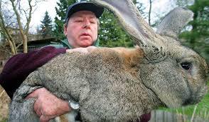 Выращивание мясо-шкурковых кроликов