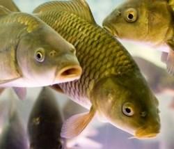 Разведение рыбы в домашних прудах на даче
