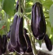 Выращивание и продажа баклажанов — прибыль, риски и нюансы бизнеса