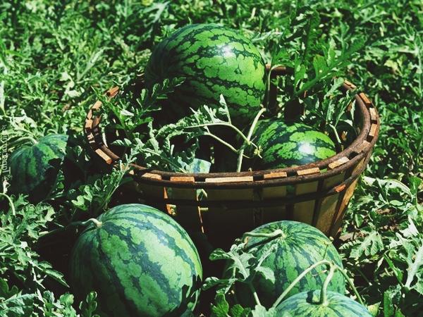 Выращивание арбуза наша дача 526