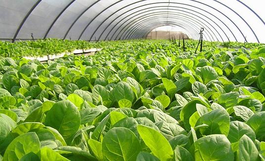 выращивание табака в теплице