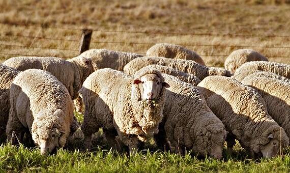 пастбища для овец