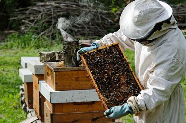 когда заканчивается взяток у пчел что мог