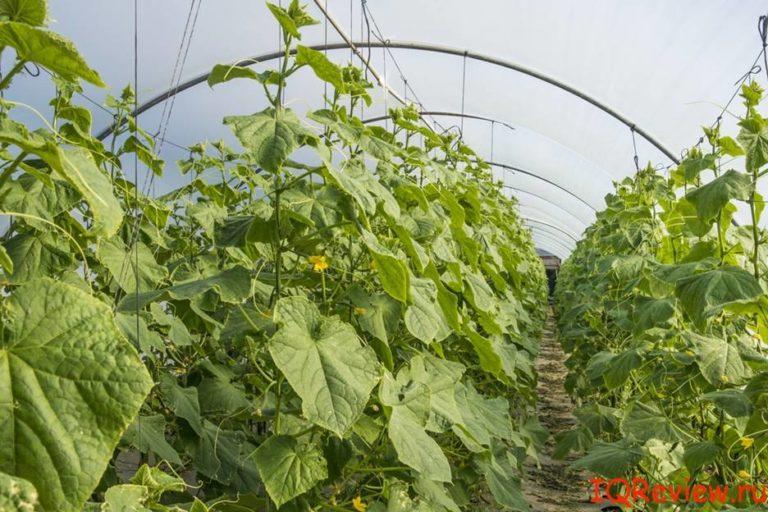 бизнес план по выращиванию лимонов в теплице