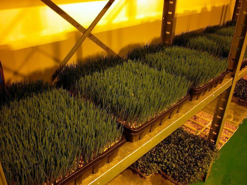 Выращивание микрозелень 97