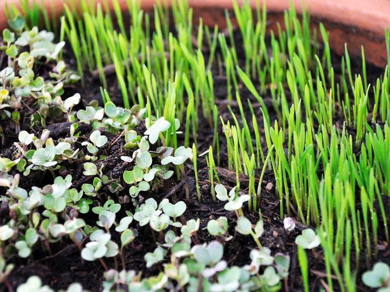 Выращивание микрозелень 69