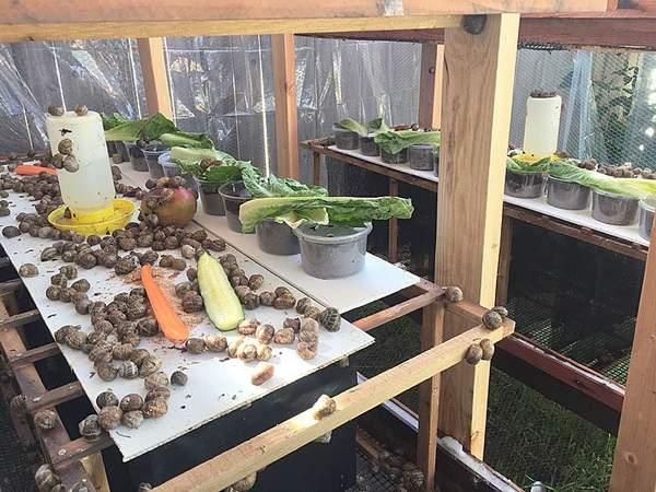 Выращивание в домашних условиях виноградных улиток 76