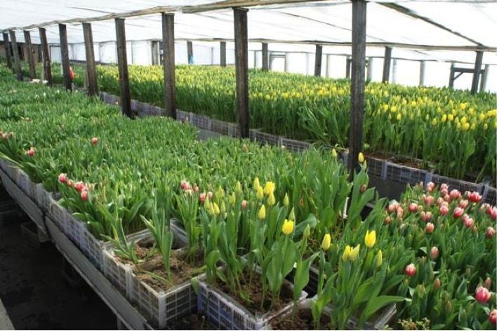 Выращивания тюльпанов в теплицах как бизнес