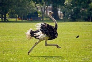 Выращивание страусов в России
