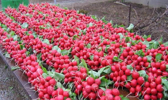 Изображение - 6 идей сельскохозяйственного бизнеса с нуля 1463741290_redis-v-teplice-2