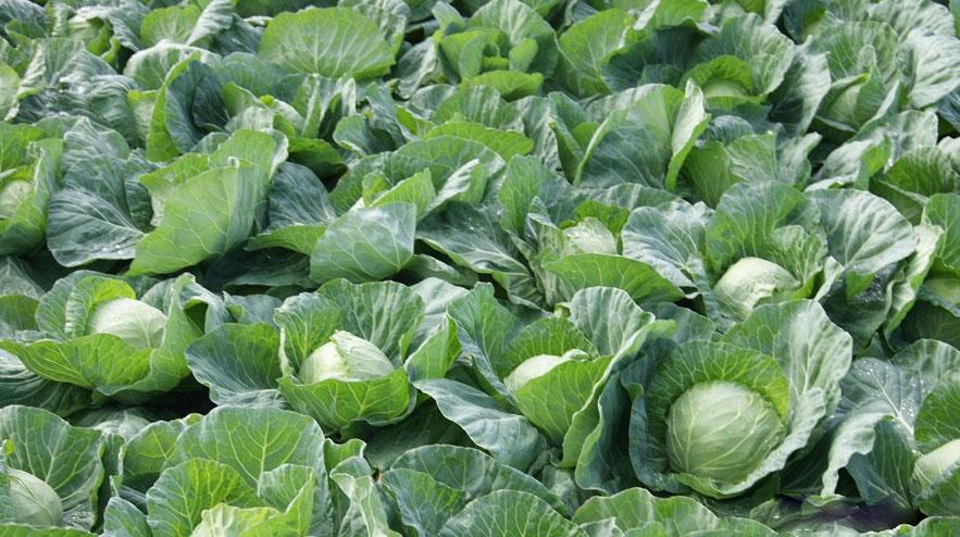 Изображение - Как вырастить цветную капусту на продажу Kak-pravilno-rasschitat-rastoyanie-mezhdu-lunkami-pri-vydaki-kapusty-belokochannoj-v-grunt