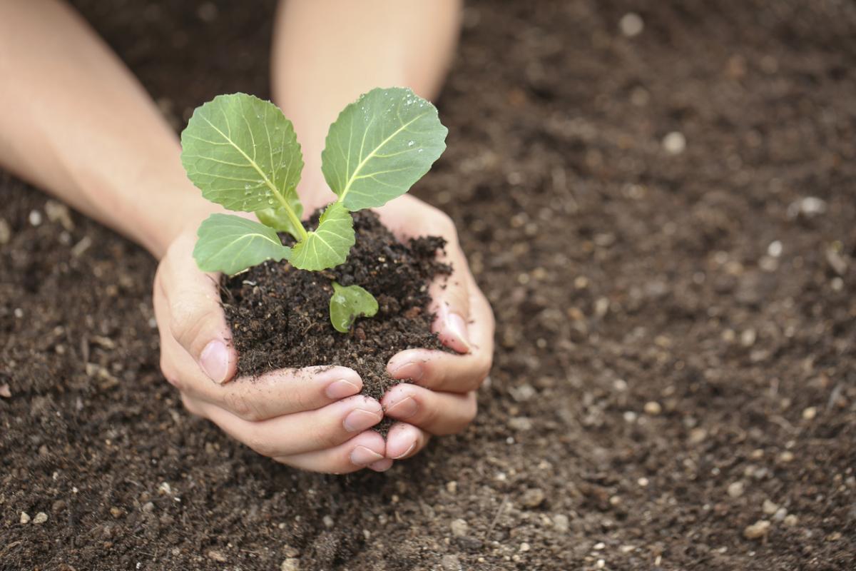 Изображение - Как вырастить цветную капусту на продажу a8a53f