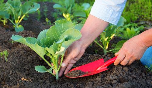 Изображение - Как вырастить цветную капусту на продажу kapusta-slava-2