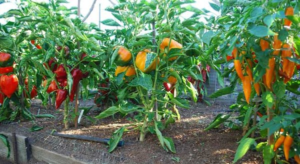 Изображение - Выращивание болгарского перца на продажу 1140_2