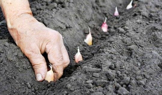чеснок выращивание из зубков