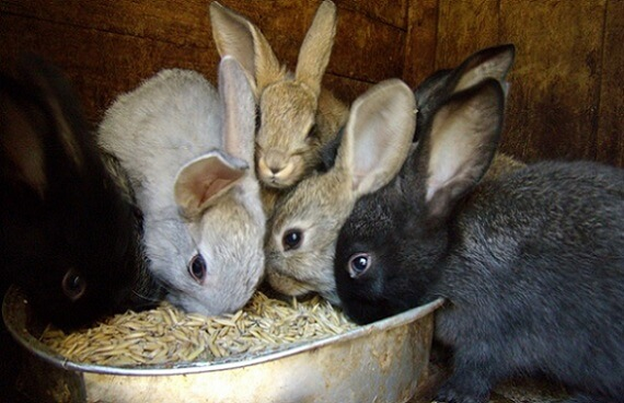 Кормёжка кроликов