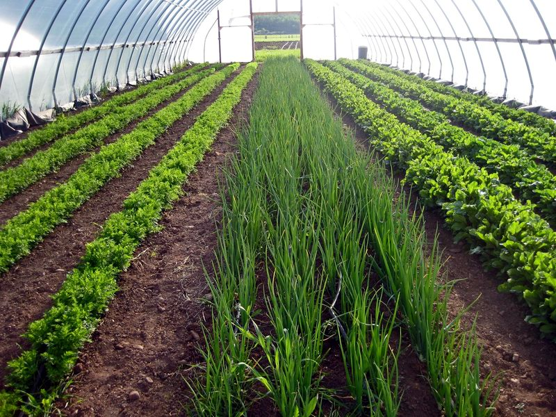 Как выращивать зеленый лук на перо в теплице