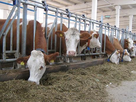 Бизнес по разведению бычков на мясо от А до Я. Самые азы мясного бизнеса, правила разведения, кормления и сбыта мяса