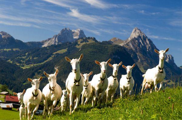 Свой бизнес разведение коз
